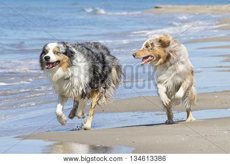two australian shepherds playing together on the beach