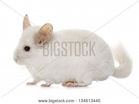 young chinchilla in front of white background