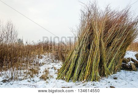 Bundles of cut osiers bound with yellow ropes in a Dutch natural landscape covered with a layer of snow. It is winter now.