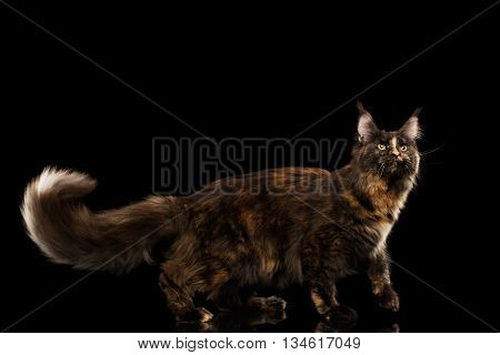 Brown Maine Coon Cat Walking with Furry Tail and Looking up Isolated on Black Background, Side view