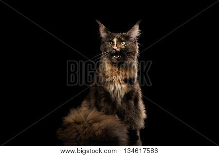 Brown Maine Coon Cat Sitting and Meowing Isolated on Black Background, Front view