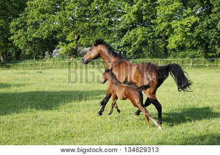 Brown Mare With Foal
