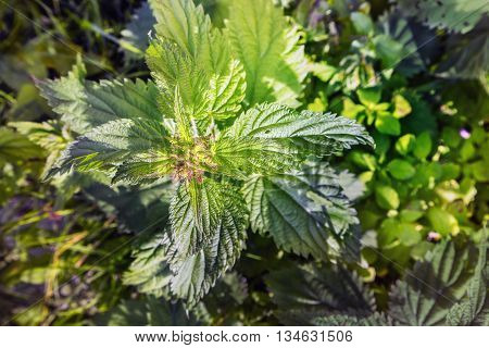 Blooming nettle in a natural environment view from the top