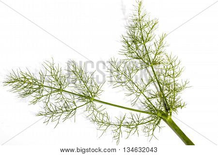 Close Up Above View Of Stems Of Fennel Plant