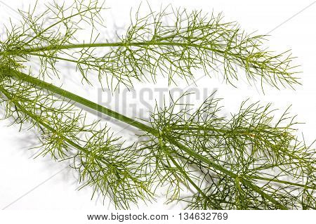 Green Stem And Leaves Of Fennel Plant On White