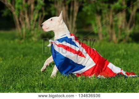 english bull terrier with a british flag