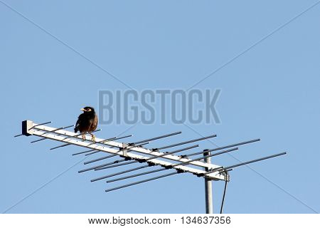 Minor Bird sitting on Tv Antenna