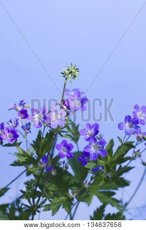 a blue woodland geranium against a blue background