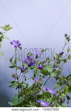 a blue wwodland geranium against a blue background