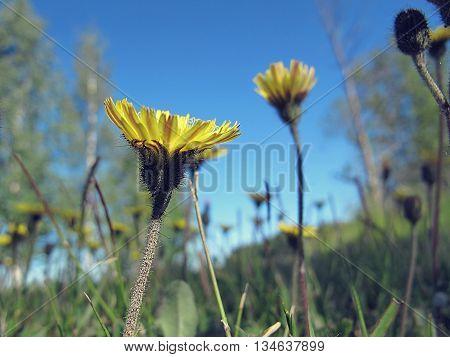 Taraxacum blooming in the summer. Natures small wonders.
