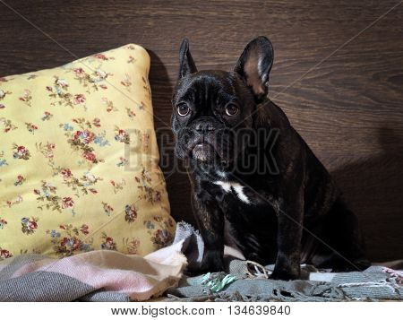Guilty puppy sitting on a bed. The dog is black thoroughbred - French Bulldog