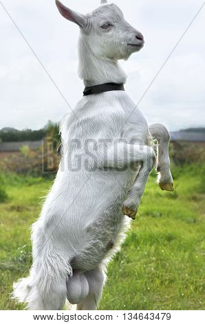 White goat standing on hind legs on a sunny meadow summer day