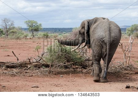 A elephant forages for food during a drought in the African bush