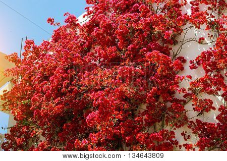 White wall covered with curly branches with bright Bougainvillea flowers. Resort village Bali Rethymno Crete Greece
