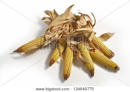 Five Mature maize ears isolated on white