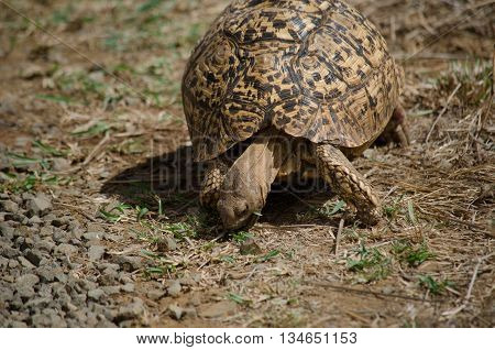 A leopard tortoise foraging for food during a drought