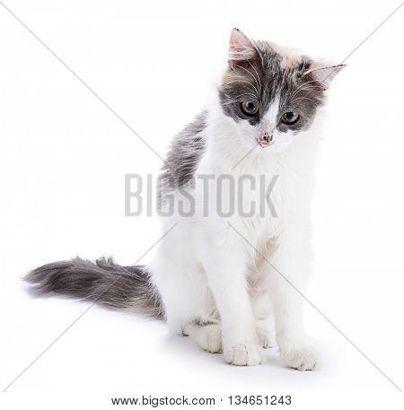 Tricolor cat isolated on white background.