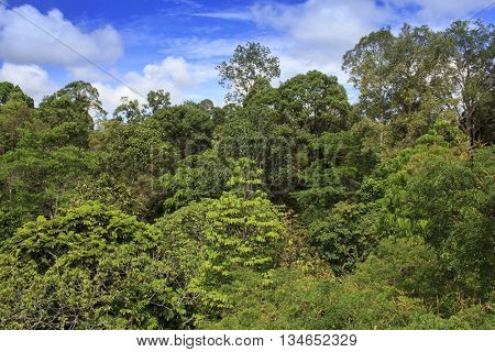 Rainforest jungle forest canopy in Borneo, Malaysia