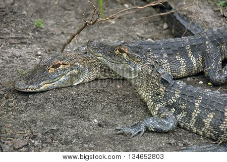 Pair of alligators camouflaged in dry dirt.