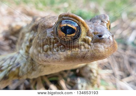 Common toad - Bufo Bufo - macro
