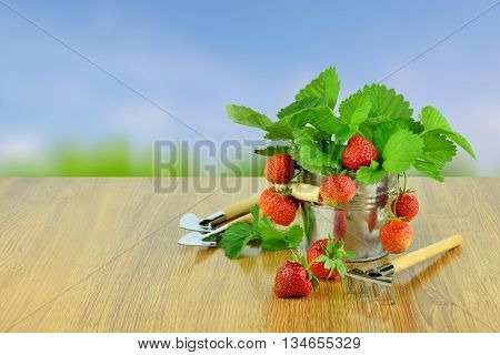 Delicious strawberries in a bucket and garden tools. Gardening. Hobby. Agriculture. Own harvest. Summer. Vitamins. strawberries with leaves in basket on wooden table on blurred background. Hobbies for the soul.