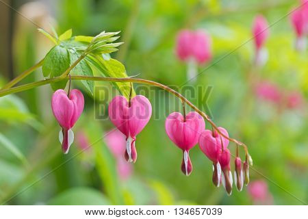 Soft focus of heart-shaped Bleeding heart flower in pink and white color during summer in Austria, Europe. Blurred garden background.