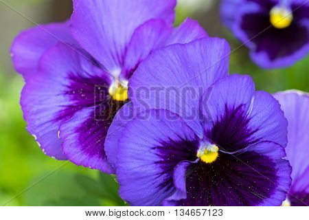 Closeup macro of Pansy flower in dark violet purple petals with yellow middle, blurred garden background