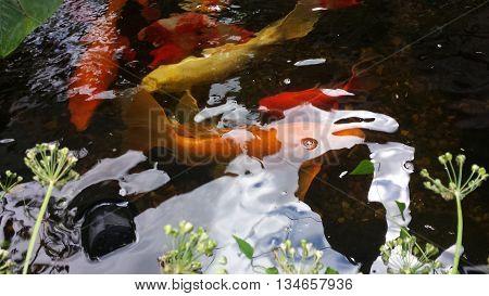 assortment of  Japanese Koi in  fish pond
