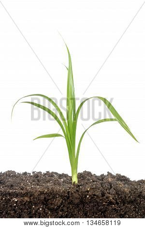Small sprout growing from manured ground isolated on white background