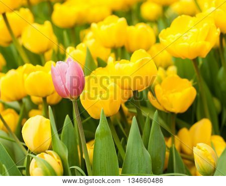 One pink tulip among many yellow ones. Standing out from crowd leadership uniqueness think different and individuality concept.