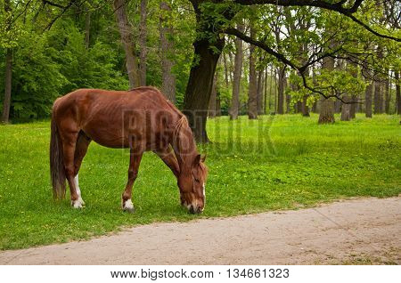 A Horse Eating The Grass