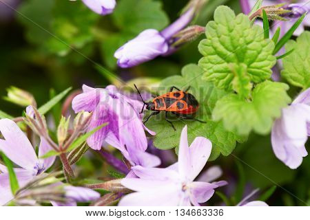 Orange bug among lilac flowers. The bug sits on a green leaf. Close up small depth of sharpness selective focus