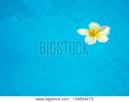 White tropical frangipani flower floating in blue swimming pool