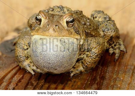 Male American Toad (Bufo americanus) performing a mating call