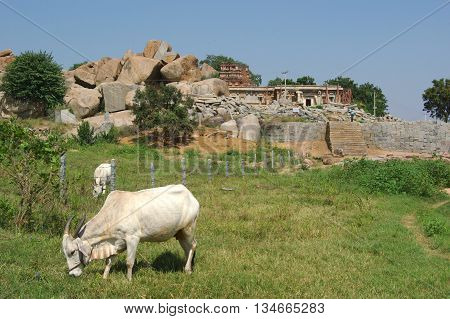 White cows feeding on pastures in India Karnataka near Hampi Unesco heritage site