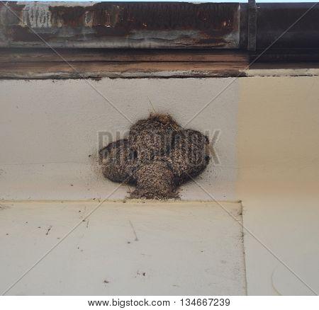 Four hirundo rustica nest on the wall