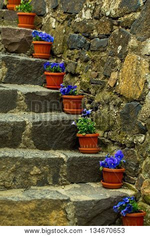 Natural stone stairs with brown flowerpots and bright blue flowers on natural background