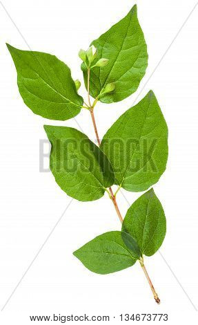 Twig Of Honeysuckle Shrub With Green Leaves
