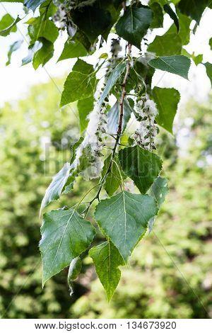 Twig Of Poplar Tree With Fluff On Catkin