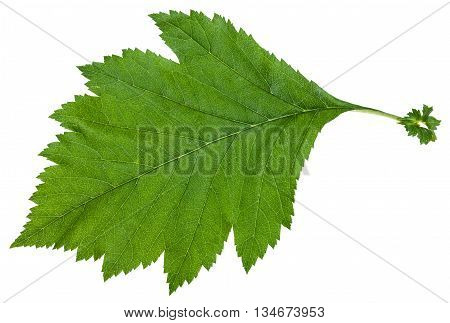 Green Leaf Of Crataegus Sanguinea Shrub Isolated