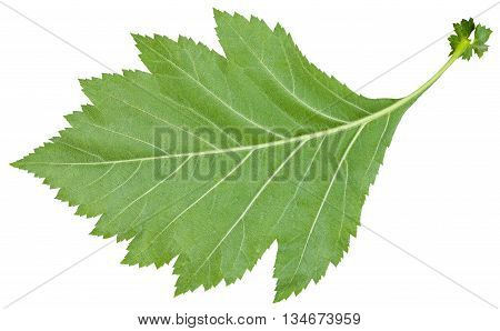 Back Side Of Green Leaf Of Redhaw Hawthorn Shrub