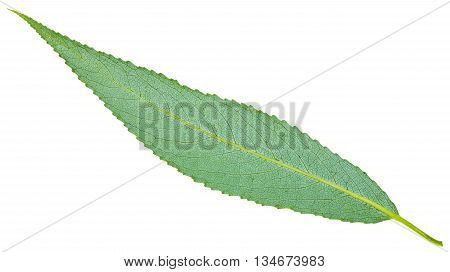 Back Side Of Green Leaf Of Crack Willow Isolated
