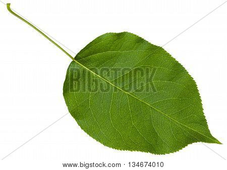 Green Leaf Cherry Tree (prunus Cerasus) Isolated