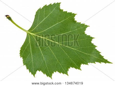 Back Side Green Leaf Of Birch Tree Isolated