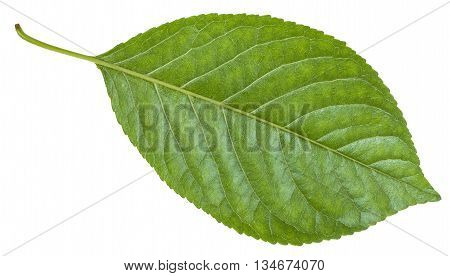 Back Side Of Green Leaf Of Prunus (plum) Tree