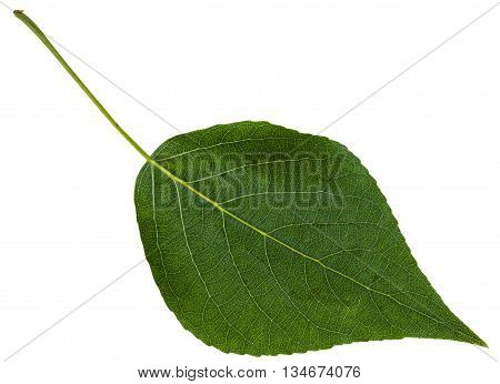Green Leaf Of Black Poplar Isolated