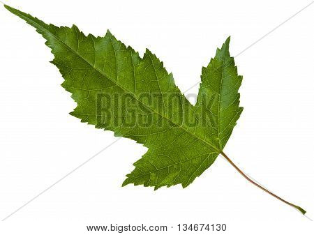 Green Leaf Of Acer Tataricum Maple Tree Isolated