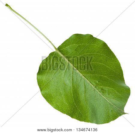 Back Side Of Green Leaf Of Wild Apple Tree