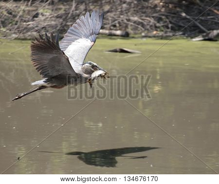 A Great Blue Heron (Ardea herodias) in flight with a large carp firmly clinched in its beak but can not resist a quick lick.