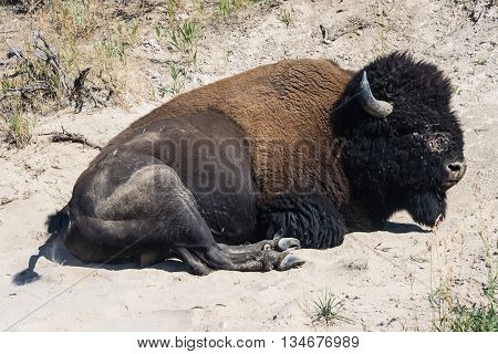 Resting American Buffalo in  National Park Wyoming USA